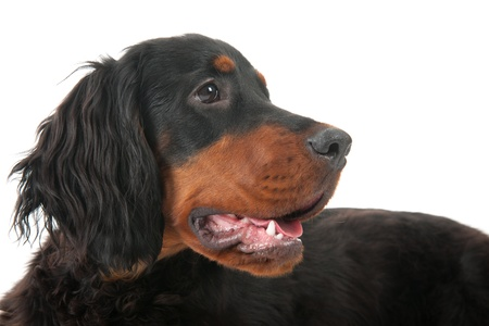 Laying Gordon Setter dog in the studio Stock Photo - 17171192