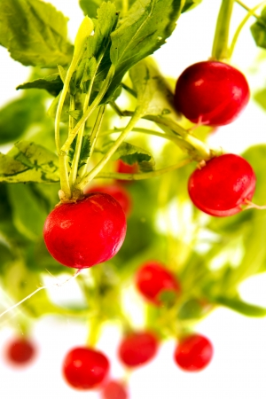 Fresh red radish floating against white background photo