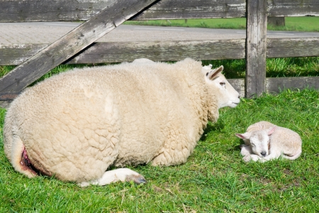 White sheep with just born lamb in spring Stock Photo - 17362650