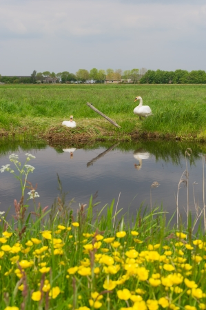 Couple swans in spring with nest in the water Stock Photo - 17629573
