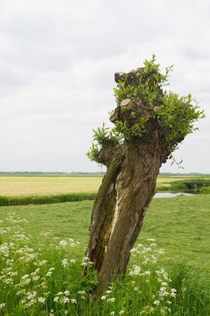 pollard: Typical Dutch pollard willow in agricultural landscape
