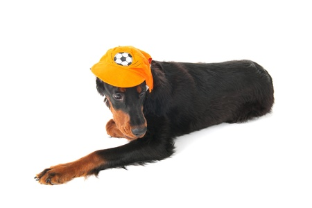 supporter: Funny dressed dog as Dutch soccer supporter