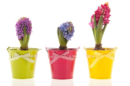 Colorful Hyacinths isolated over white background Stock Photo - 17884520