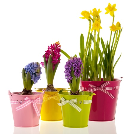 Colorful Hyacinths and daffodils  isolated over white background photo