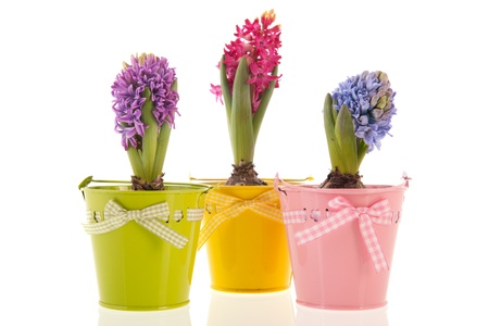 Colorful Hyacinths isolated over white background photo