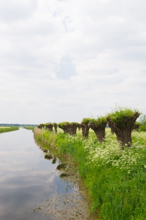 pollard willows: Dutch landscape in spring with row pollard willows and cow parsley