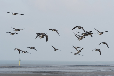 wadden: Many brent gooses flying above the wadden sea Stock Photo