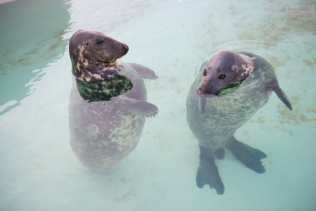 texel: two seal standing in the water