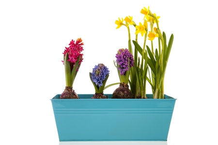Colorful Hyacinths and yellow daffodils isolated over white background photo