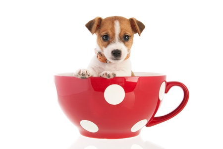 Six weeks old Jack Russel puppy dog in red dotted big coffee cup isolated over white background Foto de archivo