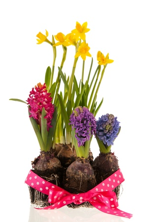 Colorful Hyacinths isolated over white background Stock Photo - 18501906