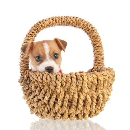 Jack Russel puppy dog in basket isolated over white background photo