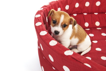 Red spotted empty pet bed with little Jack Russel puppy photo