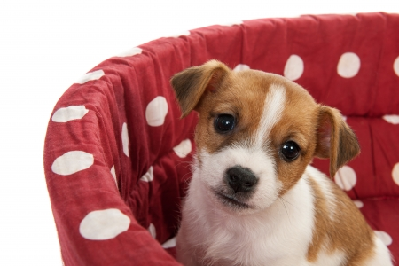 Red spotted pet bed with little Jack Russel puppy photo