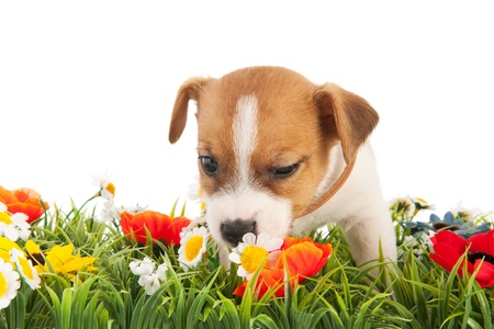 sniffing: Jack Russel puppy dog sniffing at flowers isolated over white background