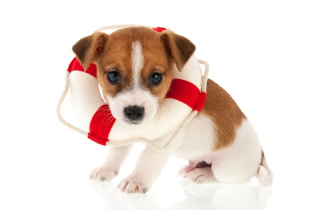 Jack Russel puppy as rescue dog isolated over white background photo