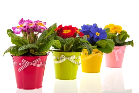 Row colorful Primroses in flower pots isolated over white background photo
