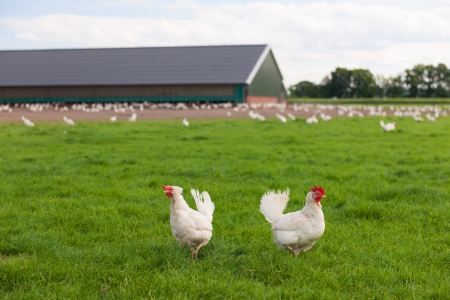 Biological chicken in agriculture landscape Stock Photo