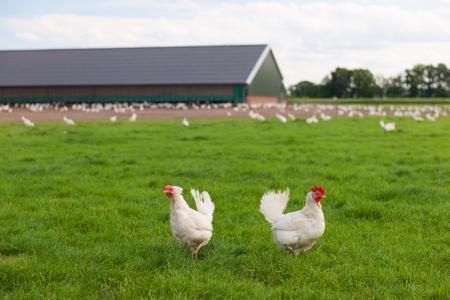 Biologische Huhn in der Landwirtschaft Landschaft Lizenzfreie Bilder