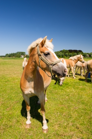 Young horses in the Dutch fields with village at the horizon Stock Photo - 18821316
