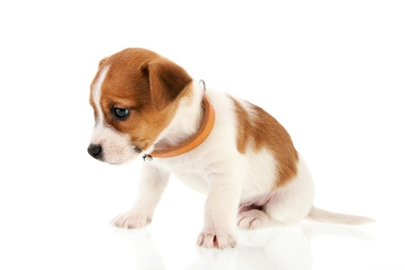 Six weeks old Jack Russel puppy dog isolated over white background photo