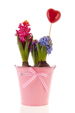 Colorful Hyacinths in pink bucket isolated over white background photo