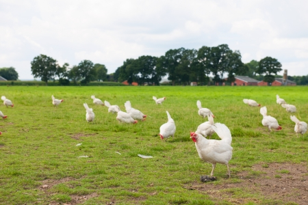 Biological chicken in agriculture landscape Standard-Bild