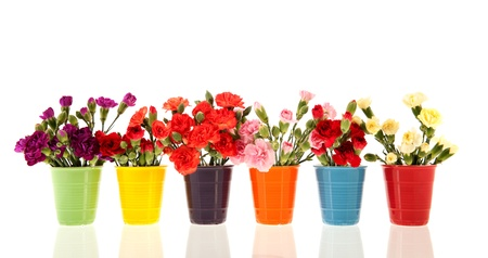 Colorful Dianthus in many vases isolated over white background photo