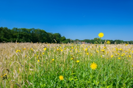 Corn marigolds in agriculture landscape photo
