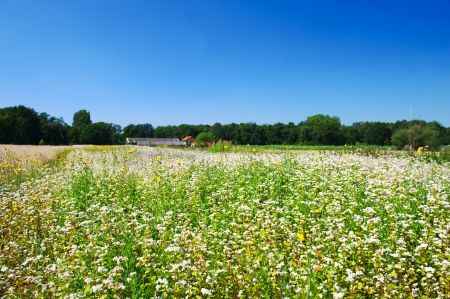 Corn marigolds and Buckwheat in agriculture landscape photo