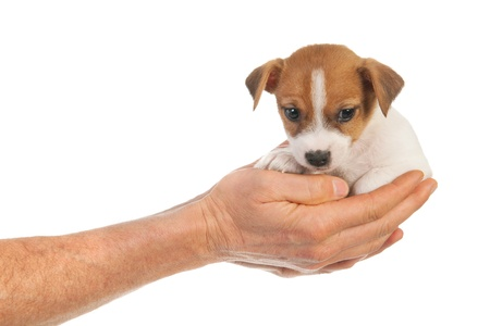 Man holding cute puppy Jack Russel in hands photo