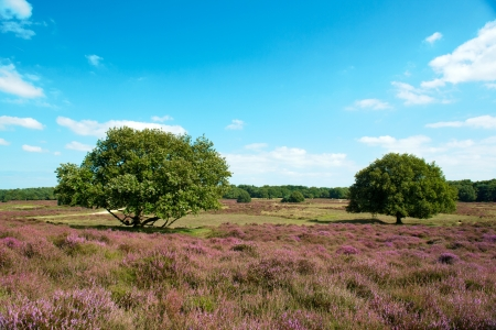 Trees in heather landscape with purple flowers photo