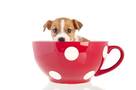 Jack Russel puppy dog in big red cup isolated over white background photo