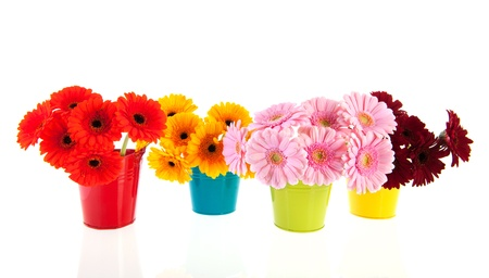 Bouquets Gerber flowers in colorful buckets isolated over white background photo
