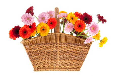 Wicker basket full with colorful Gerber flowers isolated over white background photo