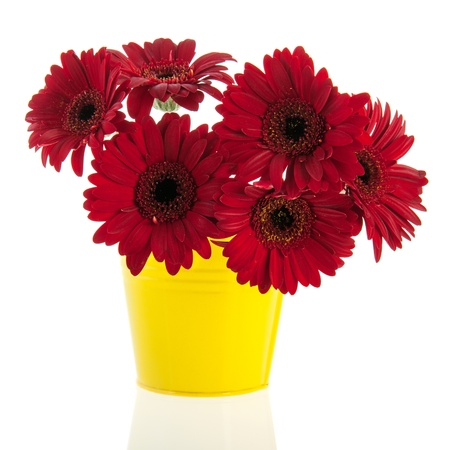Yellow red Gerber flowers isolated over white background photo