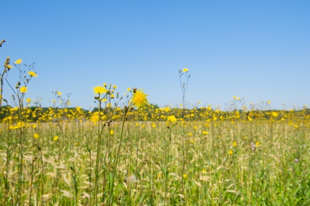 Corn marigolds in agriculture landscape Stock Photo - 19574996