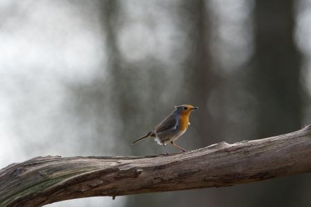 erithacus: European Robin on tree branch