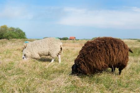 wadden: Sheep at Dutch wadden island Texel
