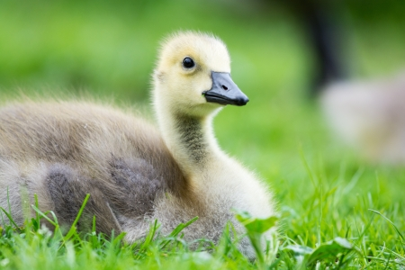 Little baby Canada goose photo