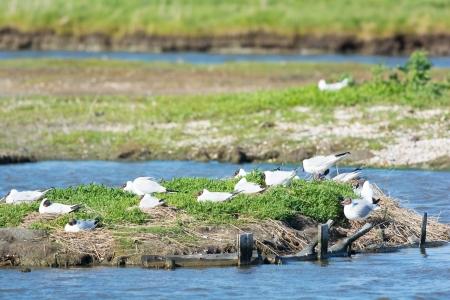wadden: Breeding black-headed sea gulls in lake De Petten at Texel