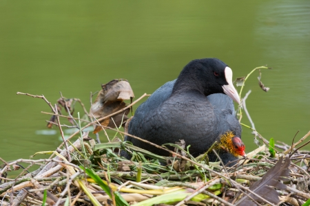 Eurasian coot with little one on nest photo