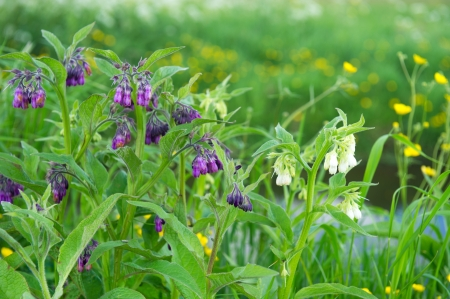 comfrey: Purple Comfrey in nature environment Stock Photo