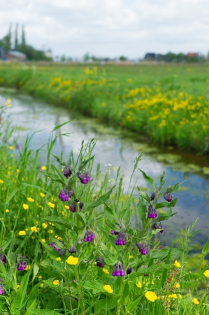 comfrey: Ditch with purple Comfrey flowers in front