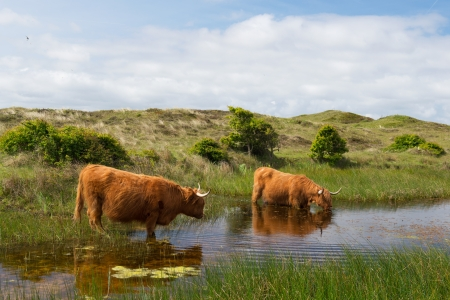 Highland cattle drinking water in Dutch dunes at wadden island Texel photo