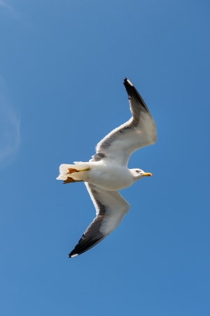 Flying Larus Sea gull in blue sky photo