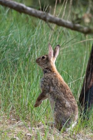 wadden: Standing hare in dunes at Dutch island Texel Stock Photo