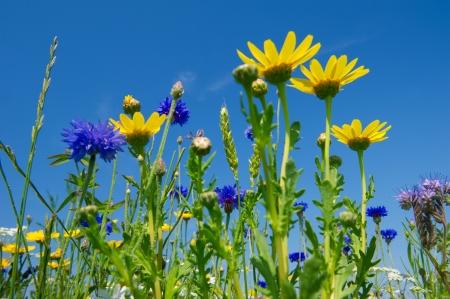 daisie: Campo colorato con blu e giallo fiori di campo