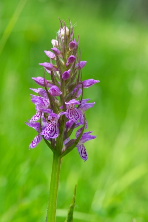 Wild Leopard Marsh Orchid in nature photo
