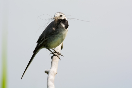 White wagtail with nest naterial photo